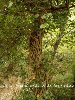 albero edera