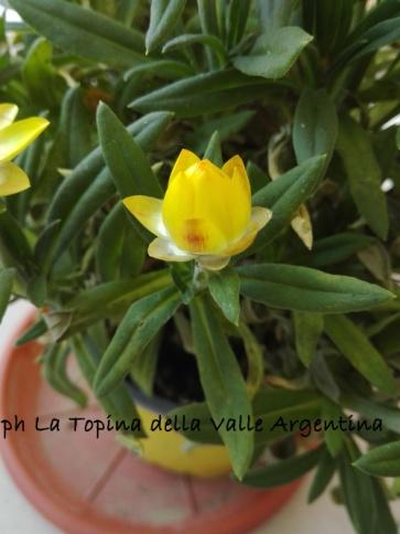 Elicriso bracteato - fiore di carta 5