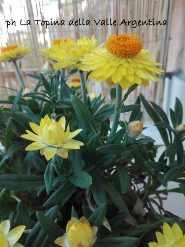 Elicriso bracteato - fiore di carta2