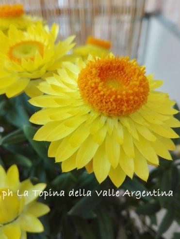 Elicriso bracteato - fiore di carta3