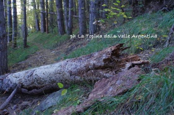 albero caduto4