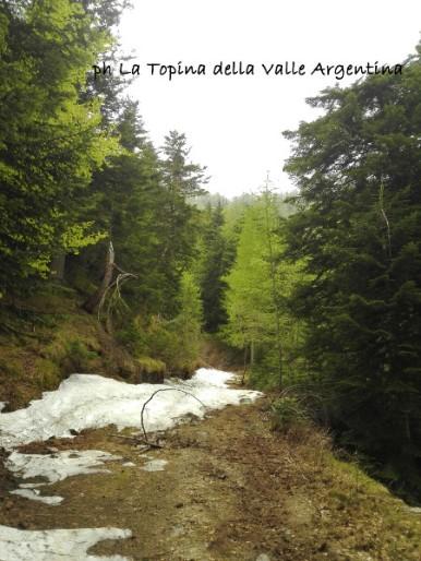 foresta di gerbonte bosco di larici primavera