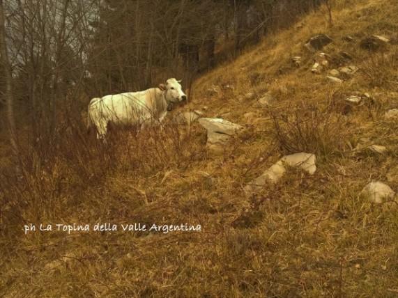 mucca colle d'oggia