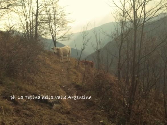mucche colle d'oggia2