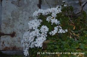 fiori cetta2