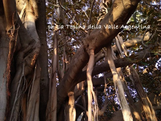Ficus macrophylla radici