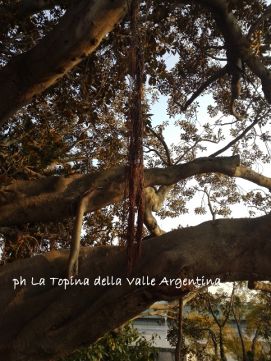 ficus macrophylla rami e radici