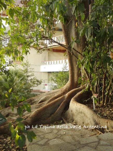ficus macrophylla sanremo