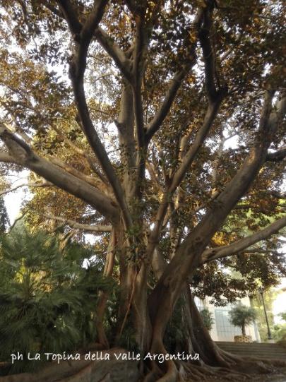 ficus macrophylla sanremo2