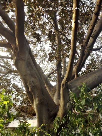 ficus macrophylla sanremo4