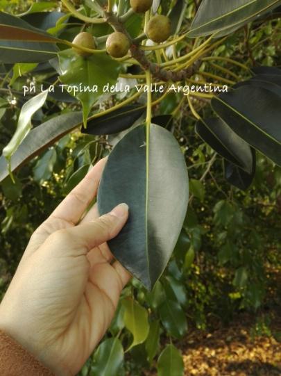 foglia ficus macrophylla