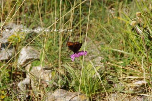farfalla valle gesso