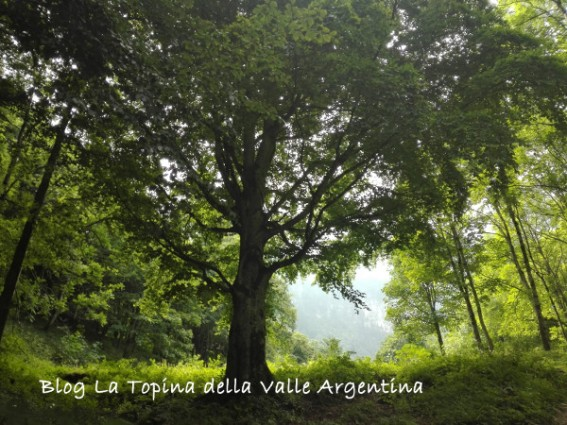valle pesio albero