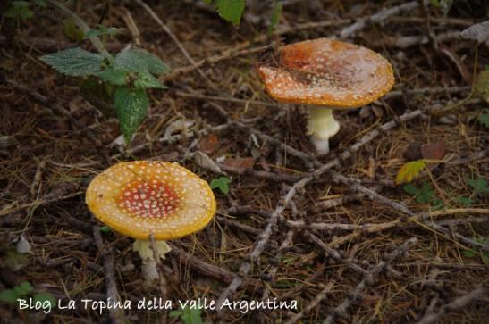 amanita muscaria4