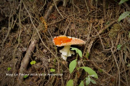 amanita muscaria8