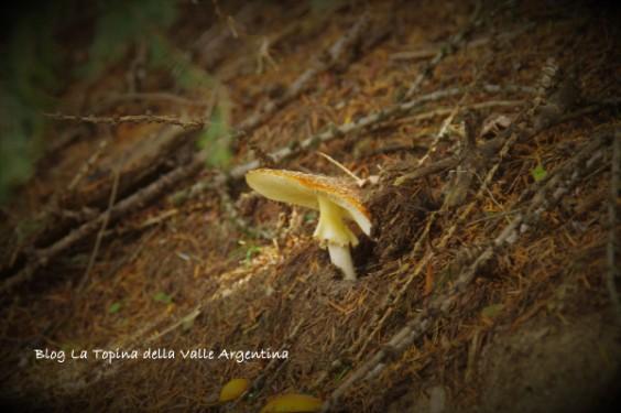 amanita muscaria9