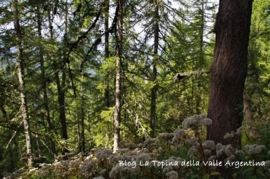 foresta collardente - sanson