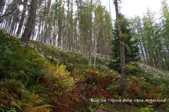 foresta larici autunno