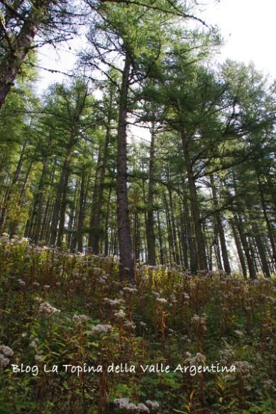 foresta larici